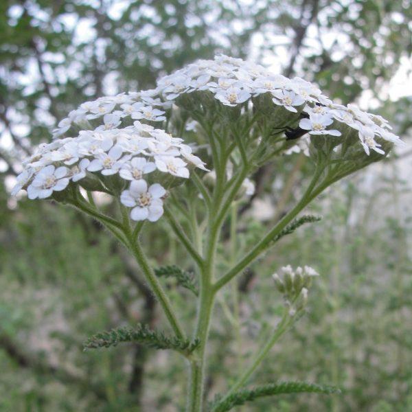 graine achillée millefeuille - achillea-millefolium