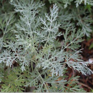 artemisia-absinthium