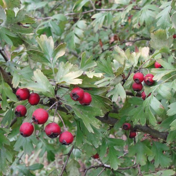 graine aubépine - aubepine-crataegus-monogyna