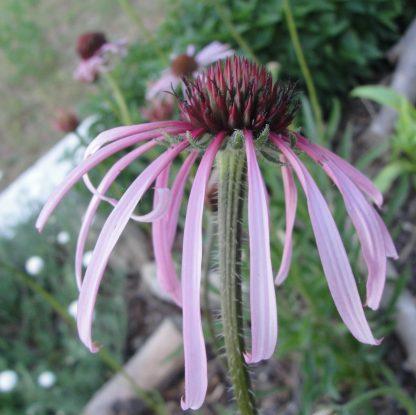 echinacea-pallida