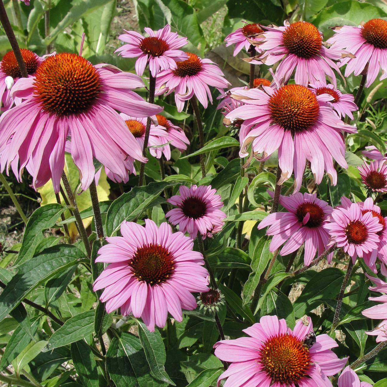 Graines De Fleurs Qui Poussent Très Vite les 10 plantes faciles à cultiver - le jardin des médicinales