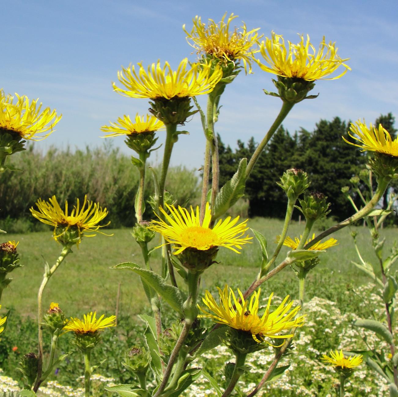 une plante Martin 1er avril trouvée par Jov' Grande-aunee-inula-helenium