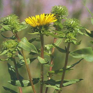grindelia-integrifolia