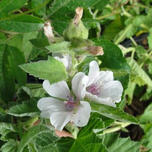 guimauve-althaea-officinalis