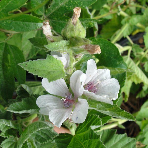 guimauve-althaea-officinalis