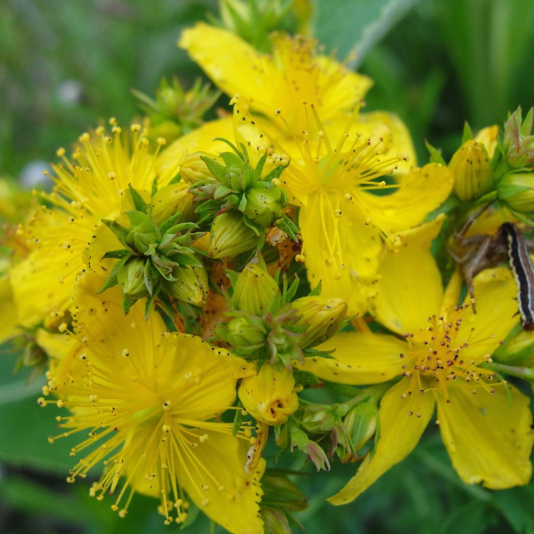 millepertuis hypericum perforatum 50 graines le jardin des m dicinales. Black Bedroom Furniture Sets. Home Design Ideas