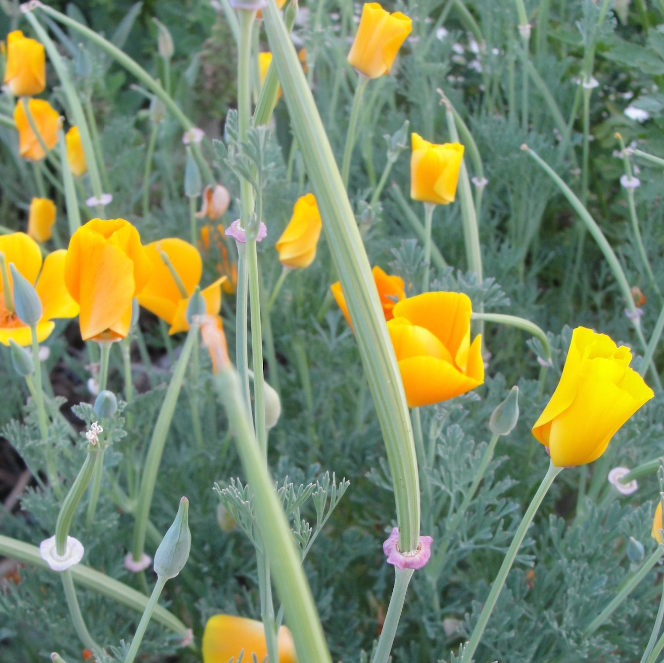 pavot de californie eschscholzia californica 20 graines le jardin des m dicinales. Black Bedroom Furniture Sets. Home Design Ideas