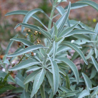 Graines de sauge blanche (Salvia apiana)